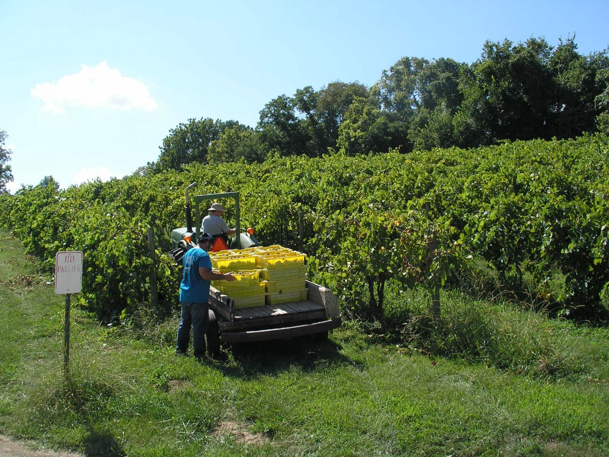 Picking Vignoles